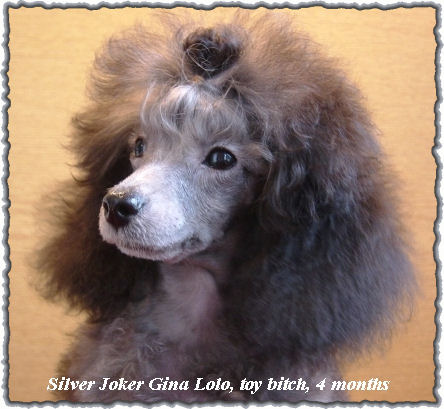 Poodle Puppies on Silver Joker Kennel   Poodle Puppies   Dwarf Miniature And Toy Poodles