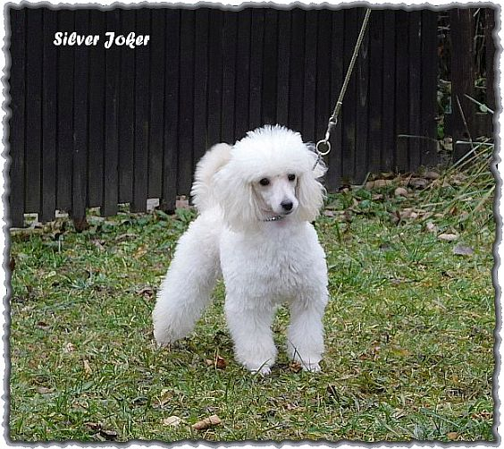 Silver Joker toy poodle white puppy, 