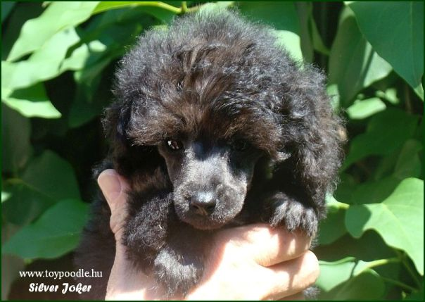 Silver Joker toy poodle,