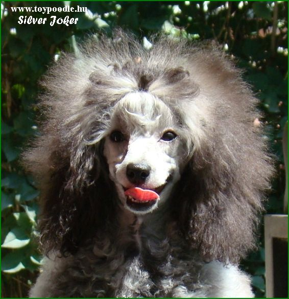 Silver Joker toy poodles,