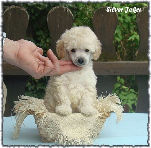 Silver Joker White toy poodle, 